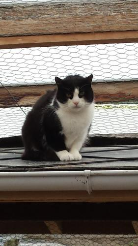 Adopter COLUMBIA, chat europeen male de 8 ans