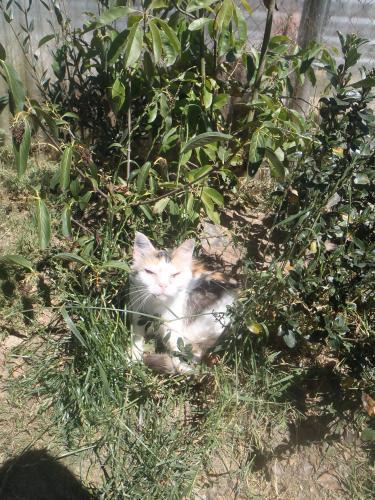 Adopter CALINE, chat europeen femelle de 15 ans