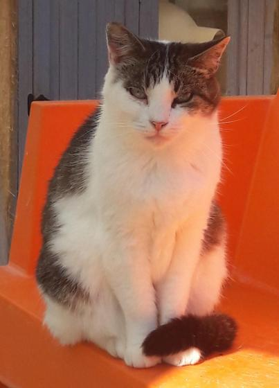 Adopter CANAILLE, chat femelle de 6 ans