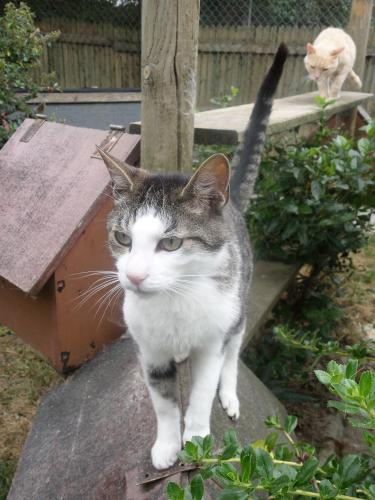 Adopter CASSIUS, chat europeen male de 10 ans