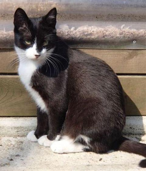 Adopter CHICAGO dit POMPOM, chat male de 8 ans