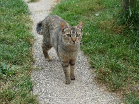 Adopter CLEA, chat male de 7 ans