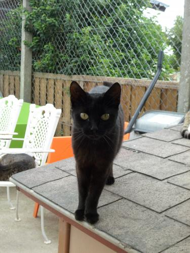 Adopter COQUINE, chat femelle de 4 ans