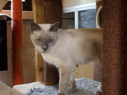 Adopter CORIOLAN, chat siamois male de 10 ans