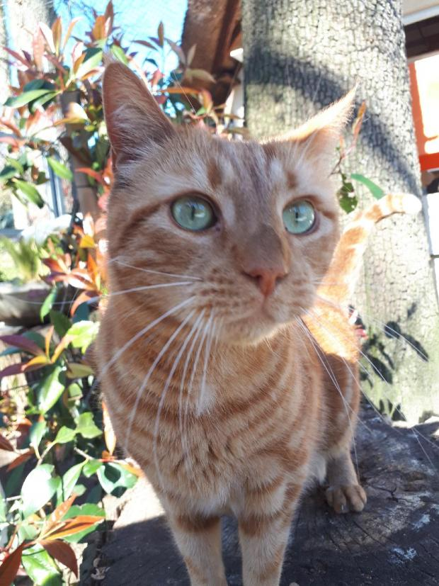 Adopter CROQUETTE, chat male de 5 ans