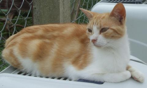 Adopter OBI WAN, chat europeen male de 8 ans