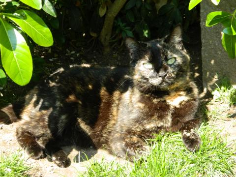 Adopter LILOO, chat femelle de 10 ans