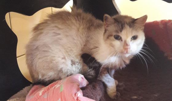 Adopter DAENERYS, chat male de 9 ans