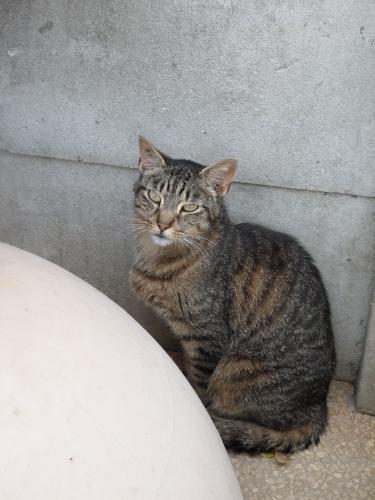 Adopter DAN, chat europeen male de 5 ans
