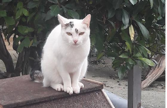 Adopter DONATELLA, chat europeen femelle de 5 ans