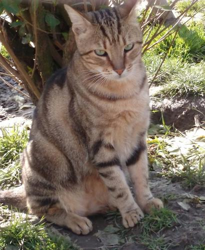 Adopter EDOLAS, chat europeen male de 8 ans