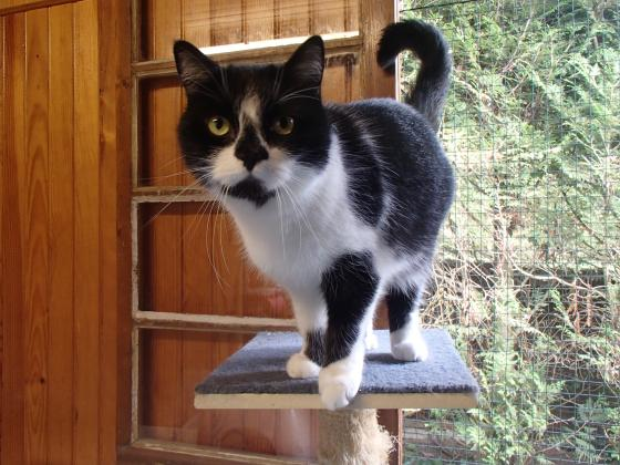 Adopter ENZO, chat europeen male de 9 ans