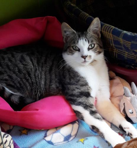 Adopter EARLEY, chat europeen male de 2 ans