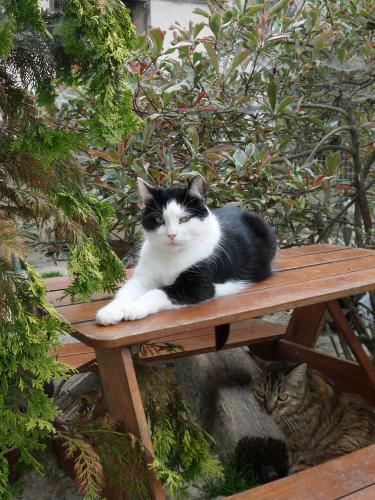 Adopter EDEN, chat europeen male de 5 ans