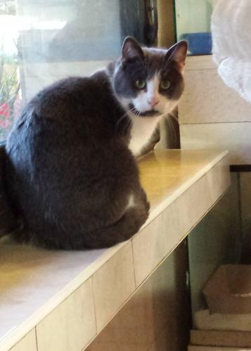 Adopter ELDAD, chat europeen male de 6 ans