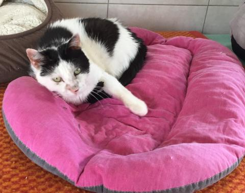 Adopter FELIX, chat europeen male de 7 ans