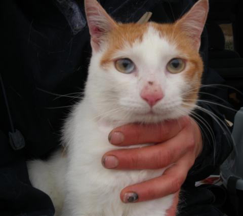 Adopter FLIPPER, chat europeen male de 9 ans