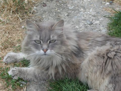 Adopter FAAA, chat chat_des_forets_norvegiennes femelle de 8 ans