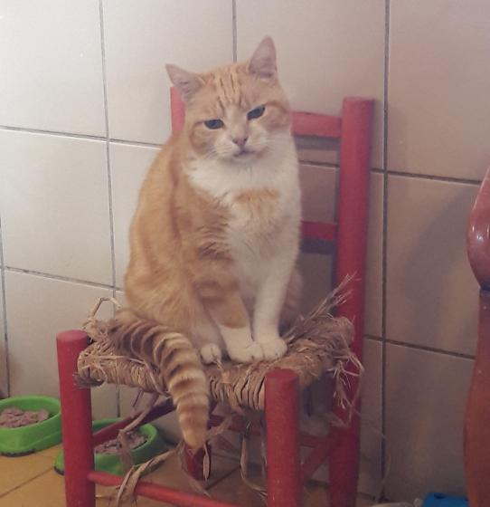 Adopter FANFAN, chat europeen male de 12 ans