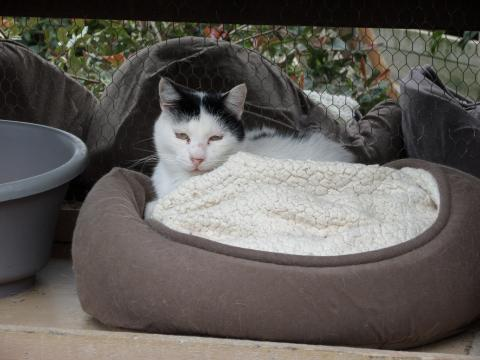Adopter FELIX, chat europeen male de 8 ans