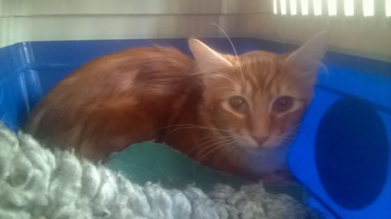 Adopter FLAMME alias FEU, chat male de 6 ans