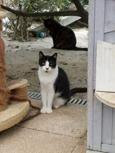 Adopter FIGARO, chat europeen male de 3 ans