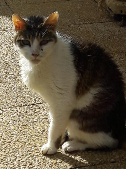Adopter FULBERT, chat male de 8 ans