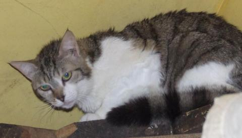 Adopter GALIPETTE, chat europeen femelle de 8 ans