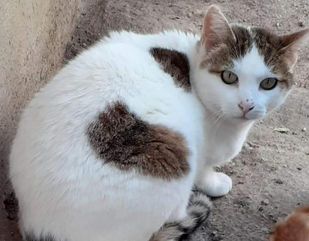 Adopter GASPARD, chat europeen male de 11 ans