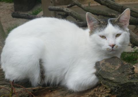 Adopter GASPARD, chat male de 10 ans