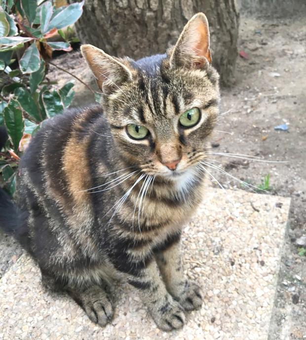 Adopter GETTY, chat femelle de 8 ans