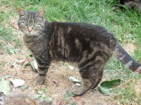 Adopter GUERLAIN, chat male de 8 ans