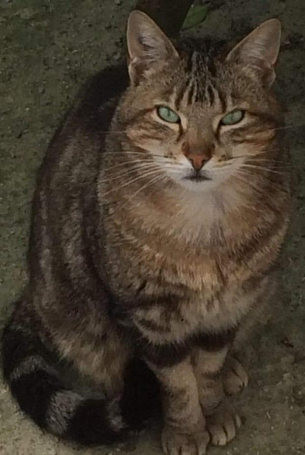 Adopter HARVEY, chat male de 5 ans