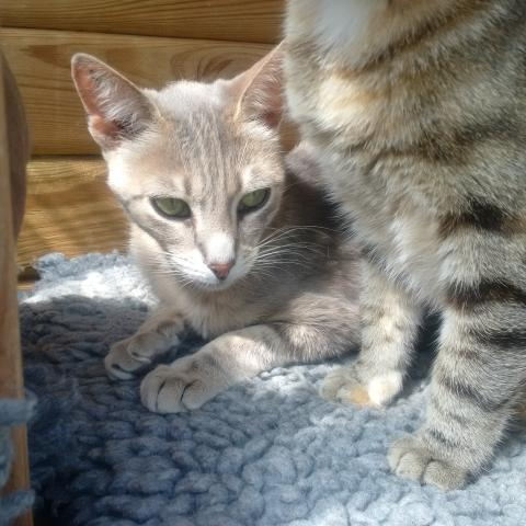 Adopter HELIA, chat femelle de 6 ans