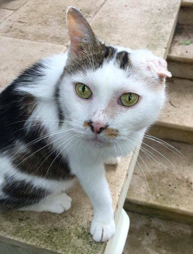 Adopter MINOU, chat male de 9 ans