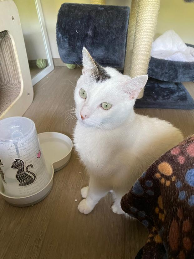 Adopter TEEMO, chat europeen male de 5 ans