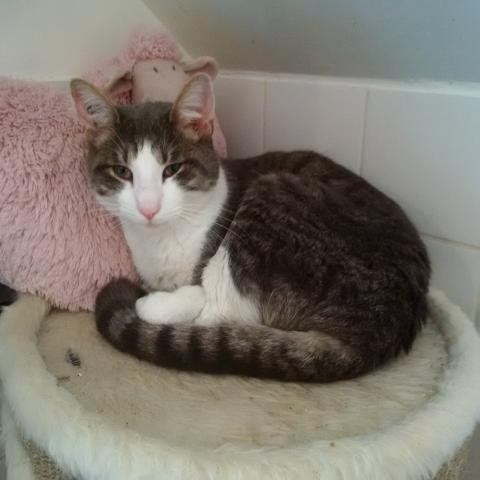 Adopter CALIN, chat male de 3 ans
