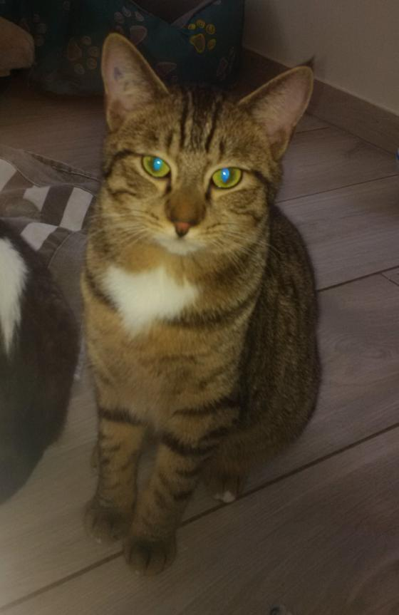 Adopter SOLYAN, chat europeen male de 3 ans