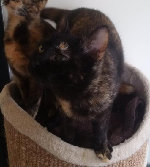 Adopter MAGGY, chat femelle de 1 an