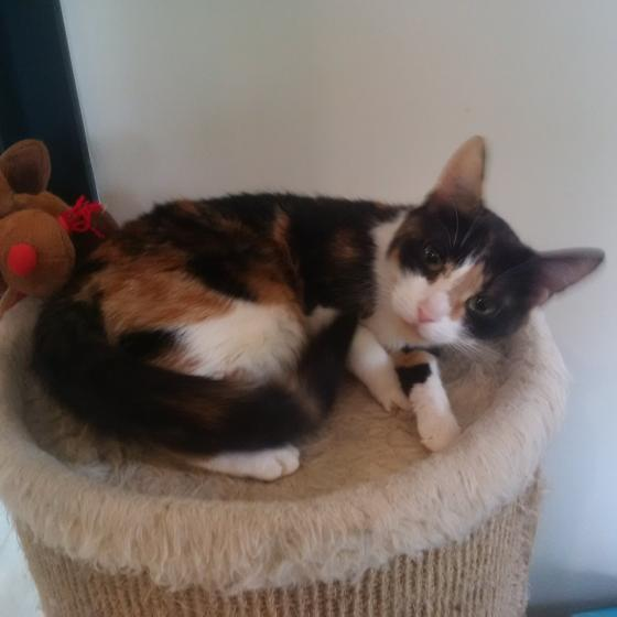 Adopter cookie, chat europeen femelle de 3 ans