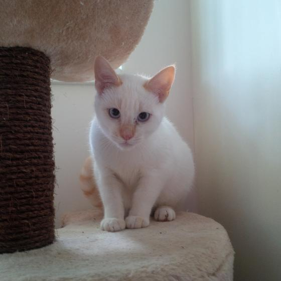 Adopter GOLDEN, chat europeen male de 1 an