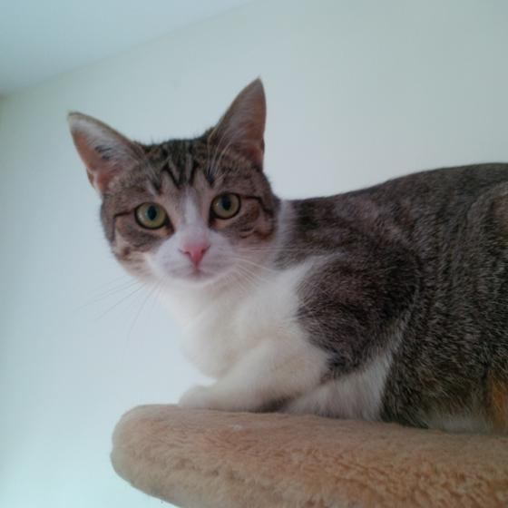 Adopter FANTA, chat europeen femelle de 1 an