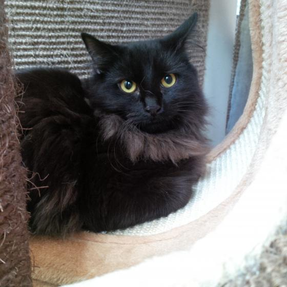Adopter PUMBA, chat europeen male de 2 ans