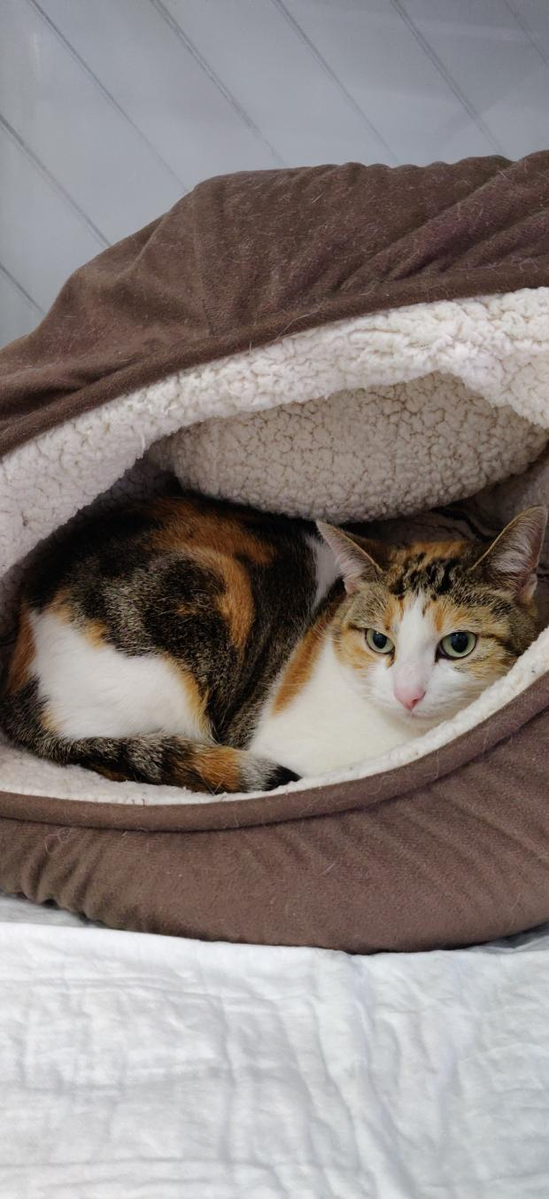 Adopter CLEO, chat femelle de 3 ans