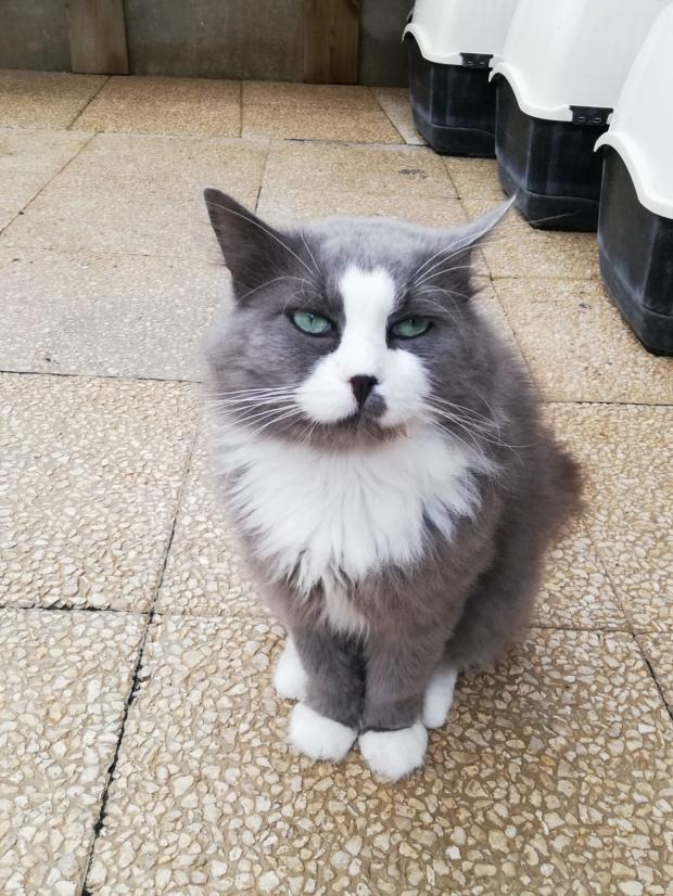 Adopter OSLOW, chat europeen male de 7 ans