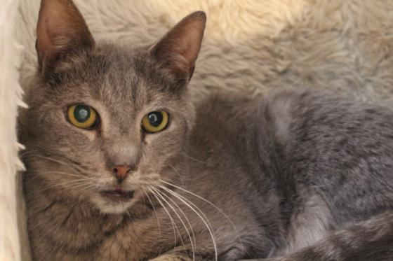 Adopter TOM TOM, chat europeen male de 6 ans