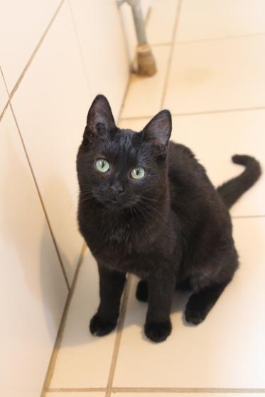 Adopter OSAKA, chat europeen femelle de 1 an