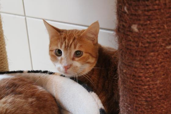 Adopter MILOU, chat europeen male de 3 ans