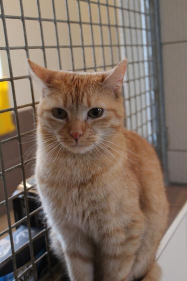 Adopter JO, chat male de 6 ans