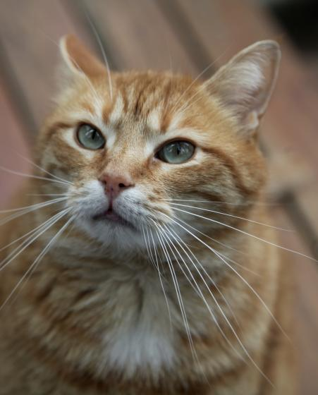 Adopter GARFY, chat europeen male de 5 ans